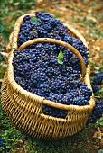 Basket filled with Pinot noir grapes, Burgundy, France