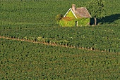 Small house surrounded by vineyards, Burgundy, France
