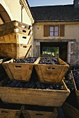 Red wine grapes in wooden troughs in Chateau Pommard courtyard
