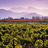 Vineyard of Cloudy Bay Winery, Wairau River, Marlborough