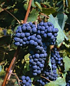Dolcetto grapes on the vine, Piemonte, Italy