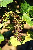 The great heat causes dry grapes, California