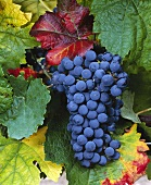 Petit Verdot grapes, Abadia Retuerta, Spain