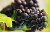 Pinot Noir-Weintrauben an der Rebe, Dom Perignon, Champagne