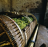 Muscadet grapes in the wine press, Clisson, Loire, France