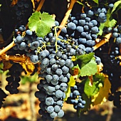 Cabernet-Sauvignon grapes in Maipo Valley in Chile