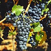 Cabernet-Sauvignon Weintrauben im Maipo-Tal in Chile