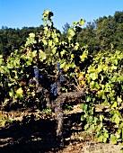 Zinfandel vine, Ridge Lytton Springs Vineyard, Dry Creek