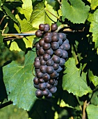 Pinot Gris grapes, also known as Pinot Grigio or Tokay