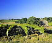 Weinberg bei St-Sulpice-de-Pommiers, Gironde, Entre-Deux-Mers