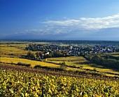 Autumnal Riesling vineyards surrounding Deidesheim, Pfalz