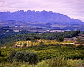 Vineyards in south of Sant Sadurni d'Anoia, Penedes, Spain