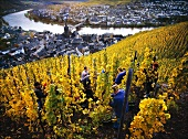 Picking Riesling grapes for Wegeler Wine Estate, Mosel