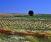 Spring flowers along a vineyard, Valladolid, Rueda