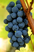Ripe Cabernet-Sauvignon grapes on the vine