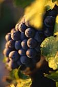 Cabernet-Sauvignon-Traube am Rebstock, von Blättern umrahmt