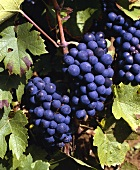 Gamay grapes on the vine, the classic Beaujolais grape