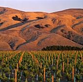 Neue Weingärten der Craggy Range, Martinborough, Neuseeland