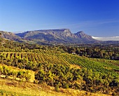 Steenberg, oldest wine farm in Constantia, S. Africa