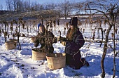 Picking Vidal grapes for ice wine, Pelham, Ontario, Canada