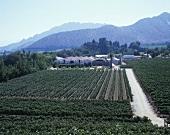 Viticulture, Errazuriz-Panquehue, Aconcagua Valley, Chile