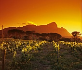 Bellingham Vineyard, Drakenstein Valley, Franschhoek, S. Africa
