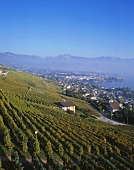 View over vineyards to Lake Geneva, Switzerland