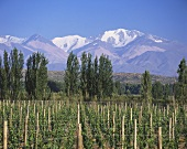 Vineyard of Bodegas Chandon, Tupungato, Mendoza, Argentina