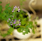 Catmint (Nepeta cataria) in a cache-pot