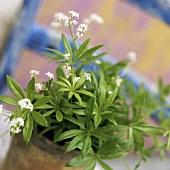 Blühende Waldmeisterpflanze im Blumentopf