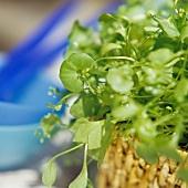 Portulakpflanze in einem Korbübertopf