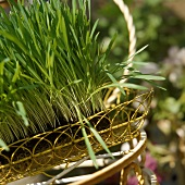 Wheat grass (Triticum aestivum) in a metal basket