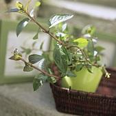Peppermint plant (Mentha x piperita) in flowerpot