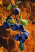Collage: branch with sloes in front of fire