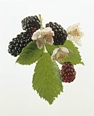 Blackberries with leaves and flowers