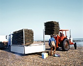 Loading freshly harvested oysters, W. France