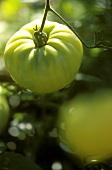 Unripe beige tomatoes, variety White Wonder