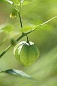Tomatillo (small green tomato) with skin on vine