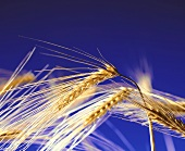 Ears of barley against blue background