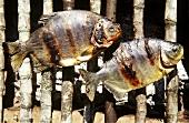 Pacu (Colossoma bidens, piranha) on barbecue (Brazil)