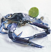 Australian blue crab (Callinectes sapidus)