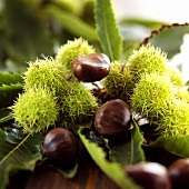 Sweet chestnuts on branch