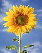 Eine Sonnenblume vor blauem Himmel