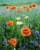 Poppy, cornflowers and chamomile in a field