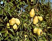 Williams' Bon Chrétien pears on the tree