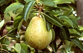Pear (Highland variety) on tree (close-up)
