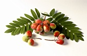Service tree (Sorbus domestica) fruit and leaves