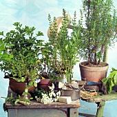 Fresh herbs in flowerpots, garden tools