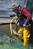 Irish fisherman carefully taking wild salmon out of net
