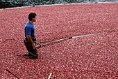 A man picking cranberries
